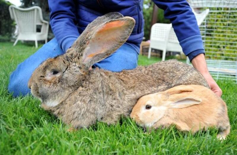 12 kiloluk dev tavşanlar kırmızı etin alternatifi olmaya aday