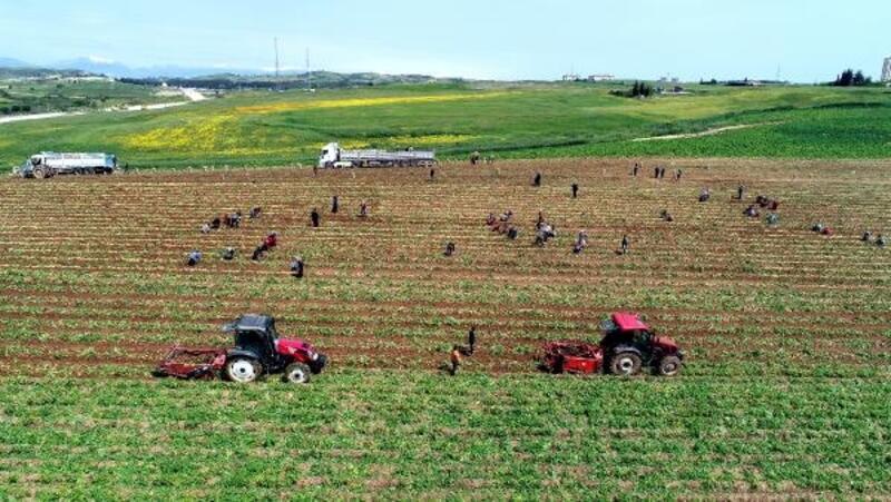 Adana'da turfanda patates hasadı