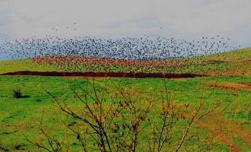 Diyarbakır'da sığırcık şöleni