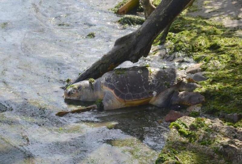 Tekirdağ sahilinde ölü caretta caretta bulundu