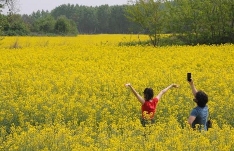 Kanola tarlaları doğal fotoğraf stüdyosu oldu