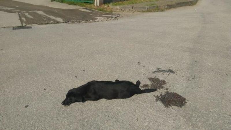 Midibüsün ezdiği köpek kurtarılamadı