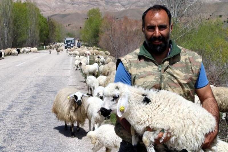 Koyun sürüleri, yayla yolunda