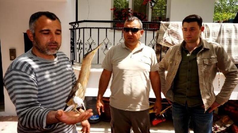 Nesli tükenmekte olan balaban kuşu yaralı bulundu
