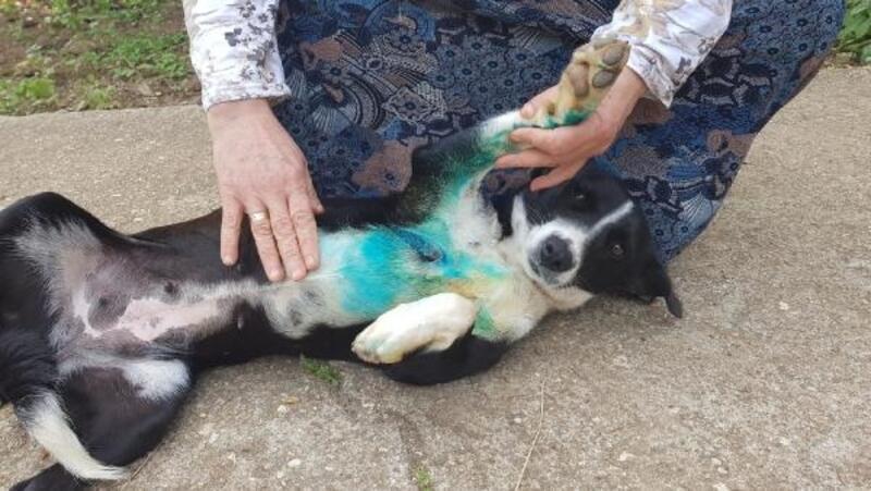 Silivri'de hırsızlar kendilerini kovalayan köpeği bıçakladı