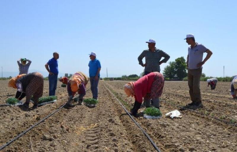 Salçalık domates fideleri toprakla buluştu