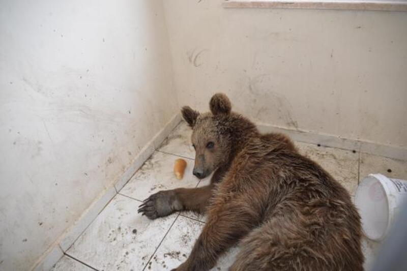 Bilecik'te yaralı olarak bulunan ayı tedavi altına alındı