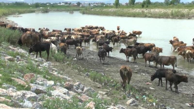Meraya götürülen hayvanlar nehirden geçiriliyor