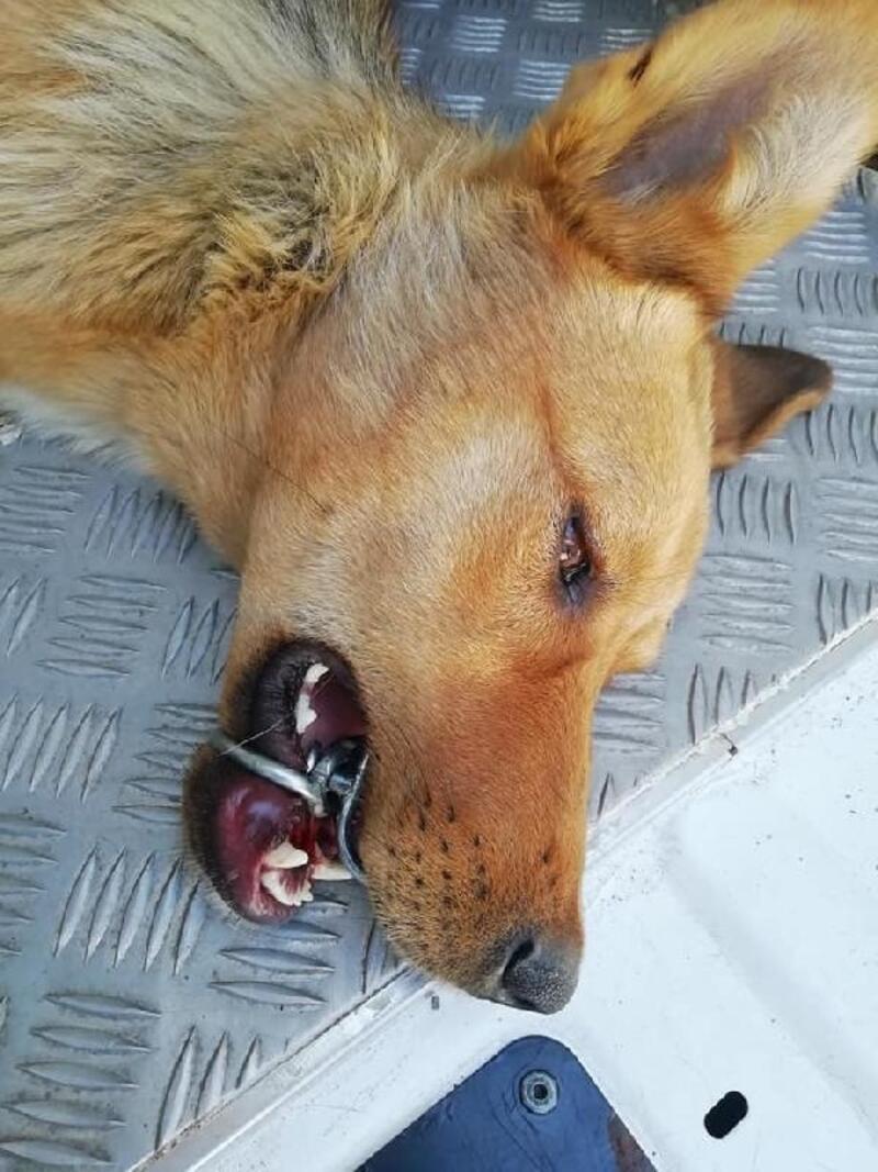 Ağzına çelik halka sıkışan köpeği, AFAD ekibi kurtardı