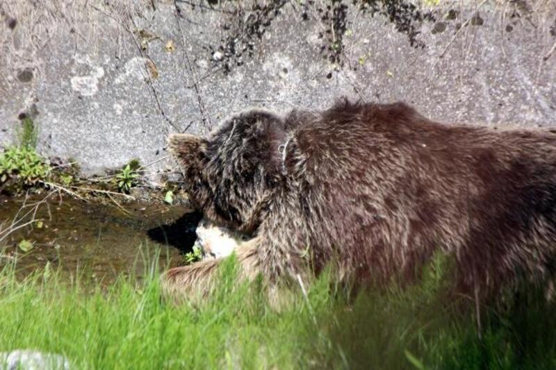 Bolu'da ölen ayı, bulunduğu yerde doğal yem olarak bırakıldı