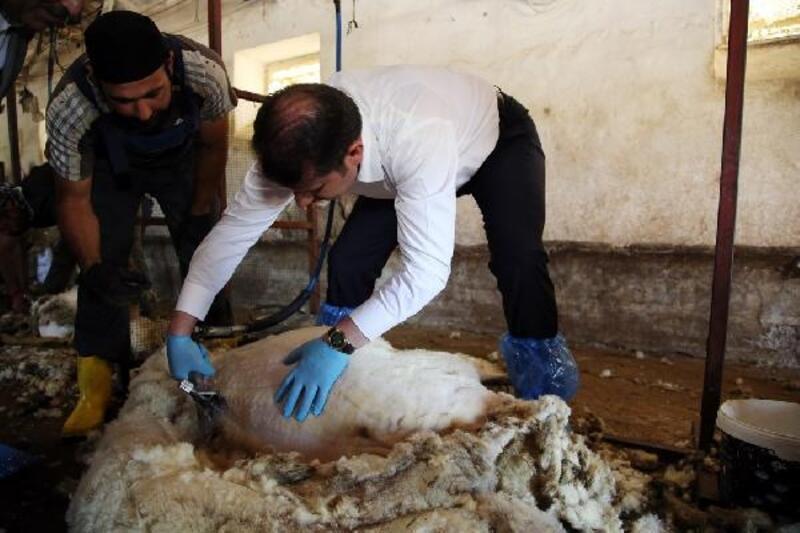 Sivas Valisi Ayhan, koyun kırktı