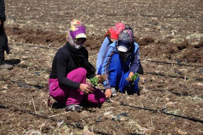 İslahiye'de Alfatoksinle mücadele için biber fidesi kullanılıyor