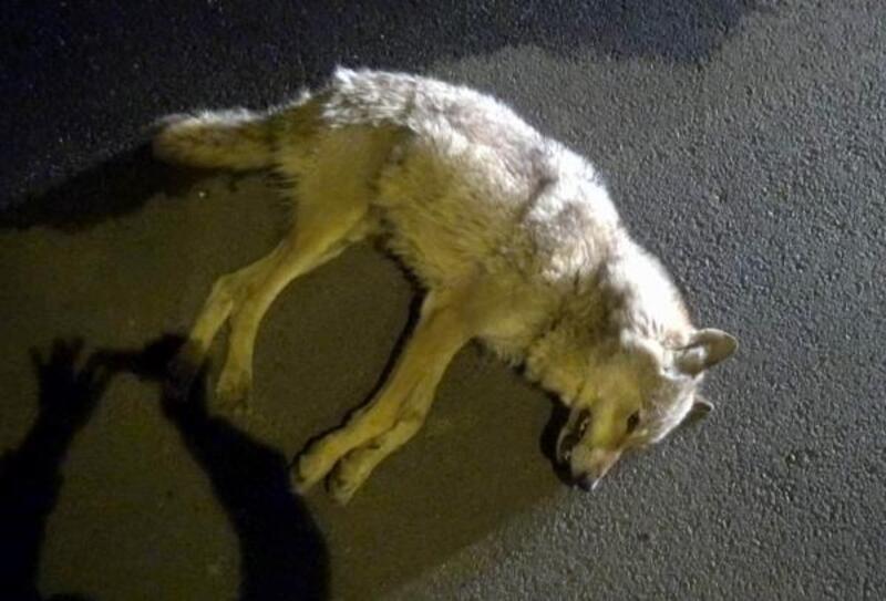Yolda otomobil çarpan kurt ve kovaladığı yavru köpek öldü
