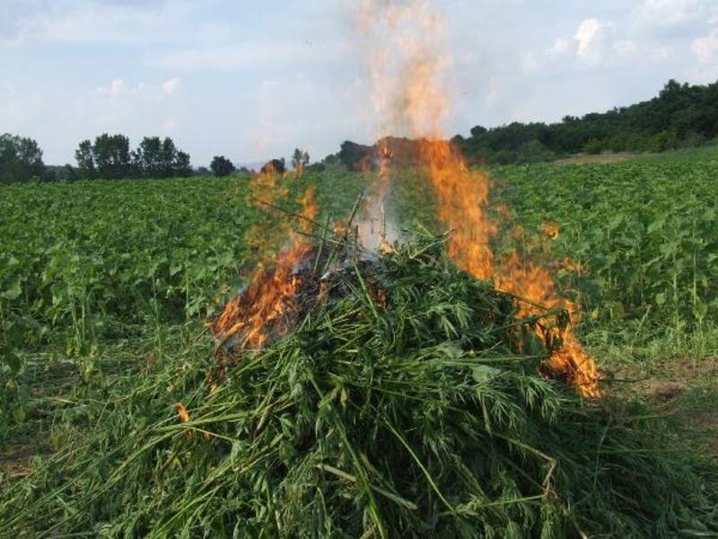 Babaeski'de 108 bin 660 kök kenevir bitkisi imha edildi