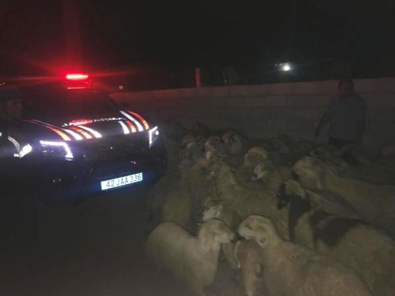 Çoban uyuya kaldı, çalındı sandığı koyunları jandarma buldu