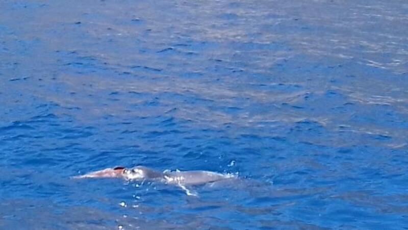 Datça'da yıllar sonra Akdeniz foku görüntülendi