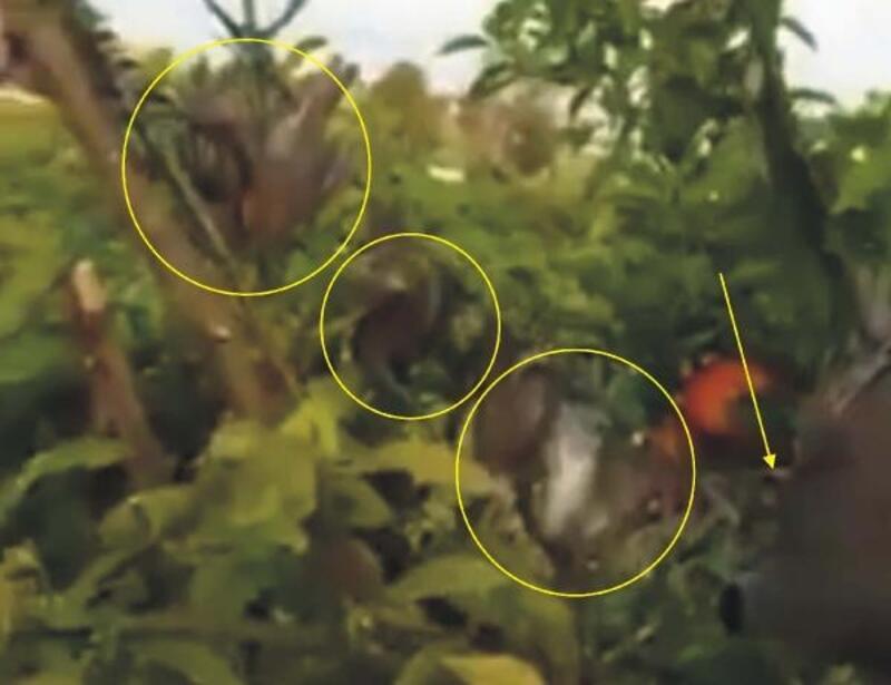 Tuzaklı saka kuşu yakalama görüntüleri, tepkilere neden oldu