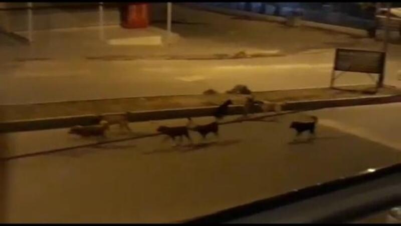 Nusaybin'de başıboş köpekler korkutuyor