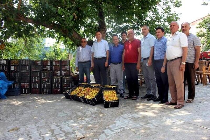 Arsuz'da kaysı hasadı başladı