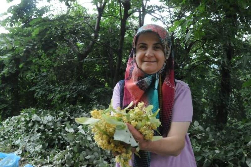 Karacabey ıhlamur ormanlarında hasat başladı