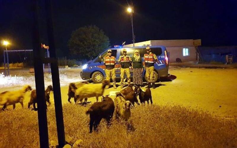 Kaybolan hayvanları jandarma buldu