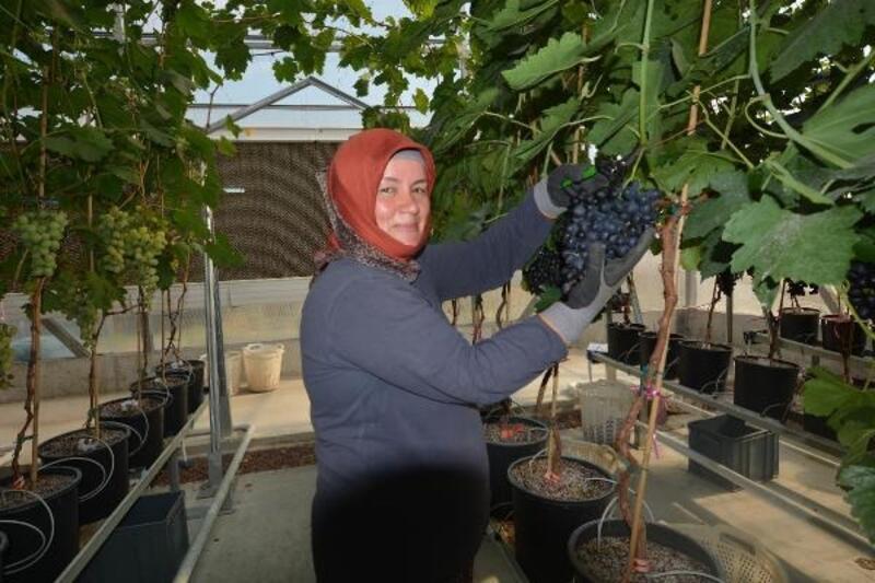 Manisa'da topraksız üretilen sofralık üzümde ilk hasat yapıldı