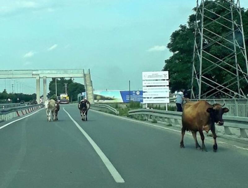 Karayolundaki inekler trafiği tehlikeye düşürdü