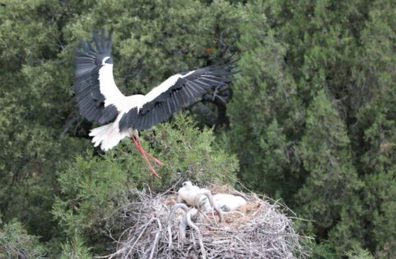 Kuluçkadan çıkan leylekler uçmaya hazırlanıyor