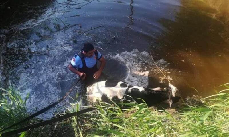 Sulama çukuruna düşen ineği itfaiye kurtardı