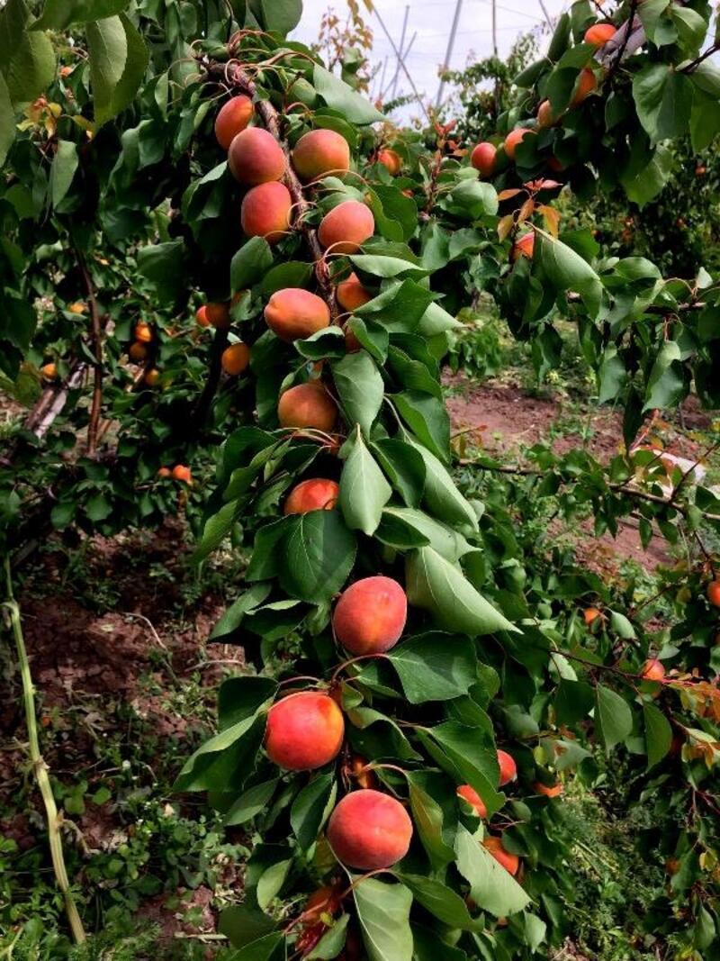 Almanya'dan döndüğü memleketinde 60 ton meyve üretiyor