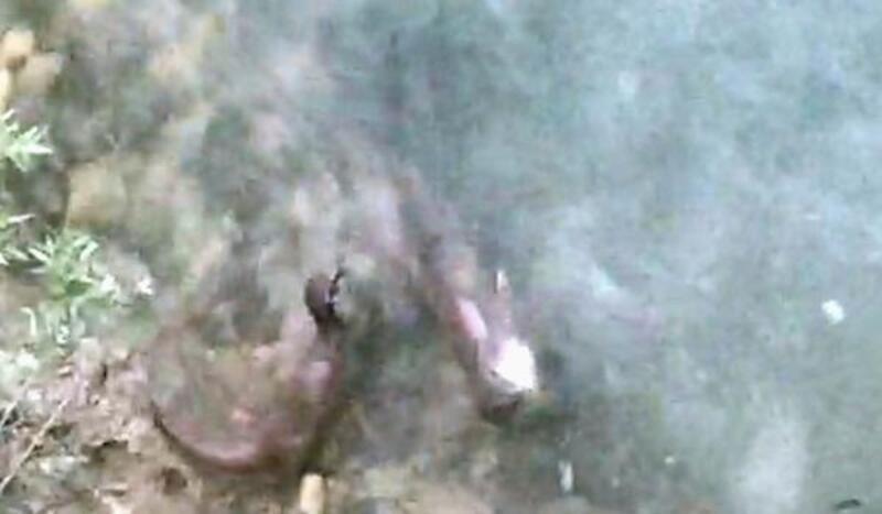 Su samurları balık avlarken görüntülendi