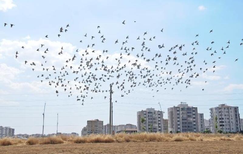 Güvercinler, hasadı yapılan tarlaları mesken tuttu