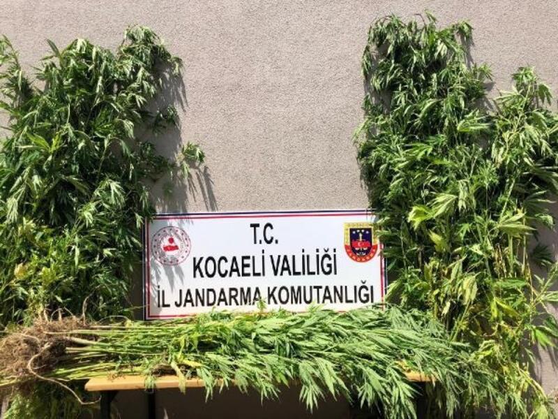 Kocaeli'de 3 bin 620 kök kenevir ele geçirildi