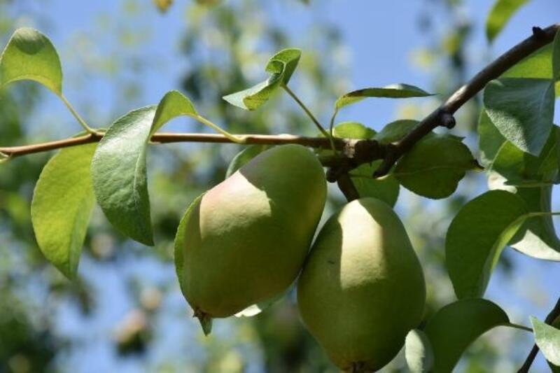 İnegöl'de armut hasadı başladı, üretici umutlu