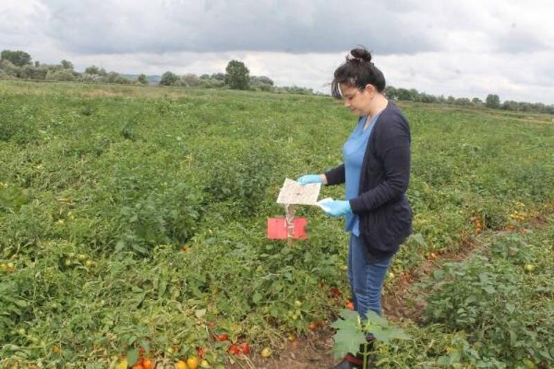 Manyas'ta domates zararlılarına karşı 'feromon tuzakları' yerleştirildi