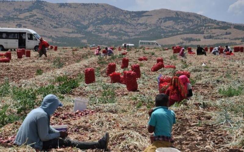 Hasadı başlayan kuru soğan tarlada kilosu 1,5 liradan satılıyor