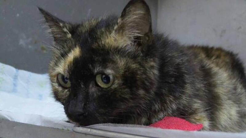 Kedi kalp masajı ve suni teneffüsle hayata döndürüldü