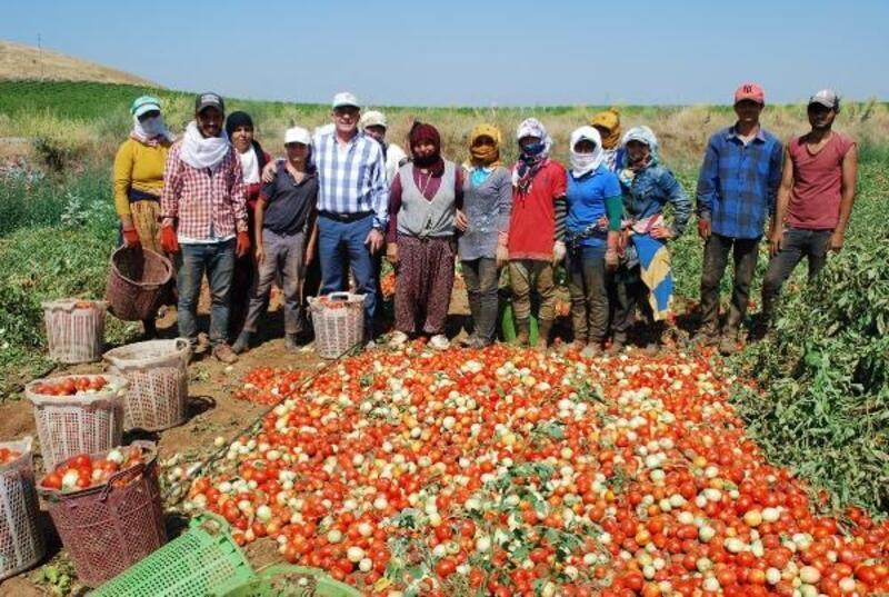 Salihli'de domates hasadı başladı
