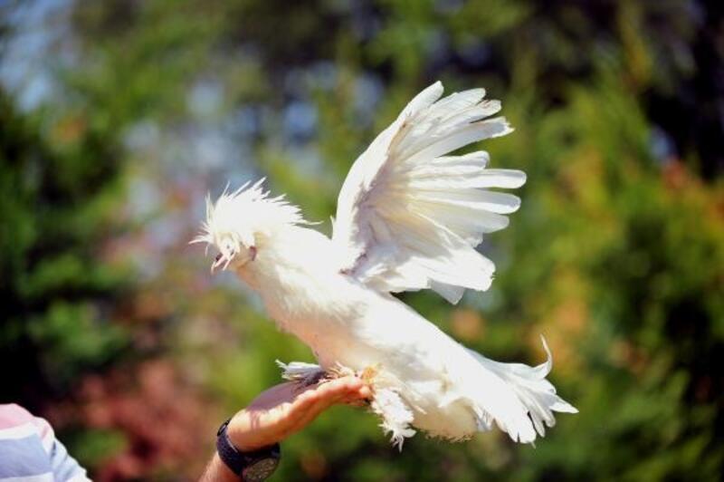 Milli ırk Osmanlı Sultan tavukları hobicilerin gözdesi