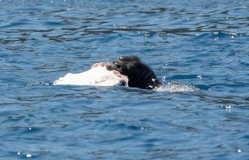 Akdeniz foku Kekova'da balık yerken görüntülendi