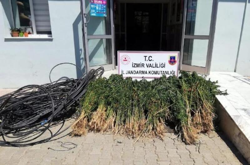 Beydağ'da 4 bin 200 kök Hint keneviri ele geçirildi