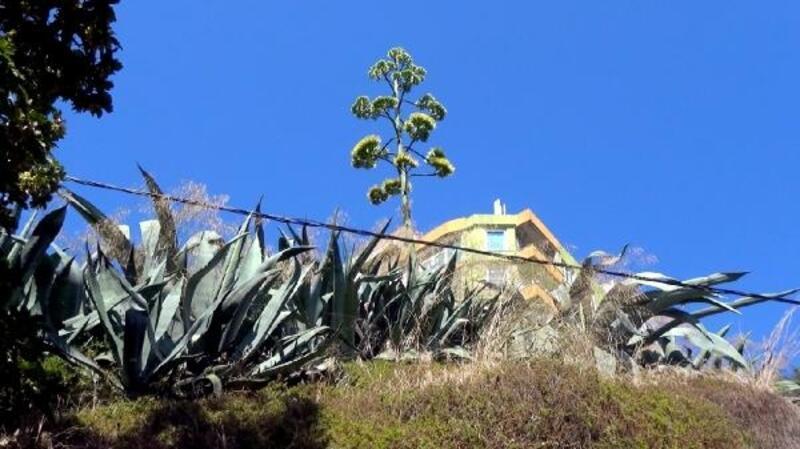 UNESCO'nun dünya kültür mirası listesinde bulunan Agave Silivri'de açtı