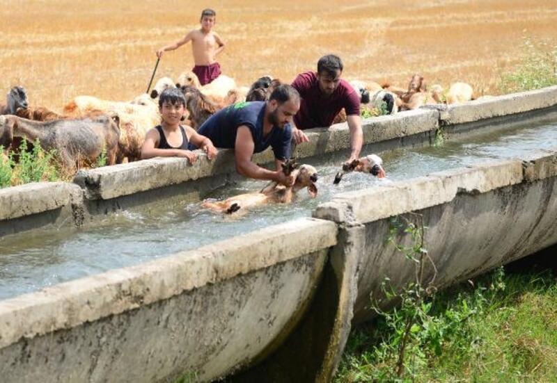 Kurbanlık koyunlar, bayram öncesi yıkandı