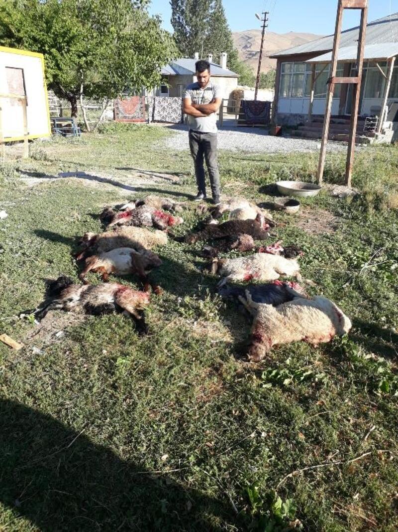 Van'da köpeklerin saldırdığı 12 kuzu telef oldu