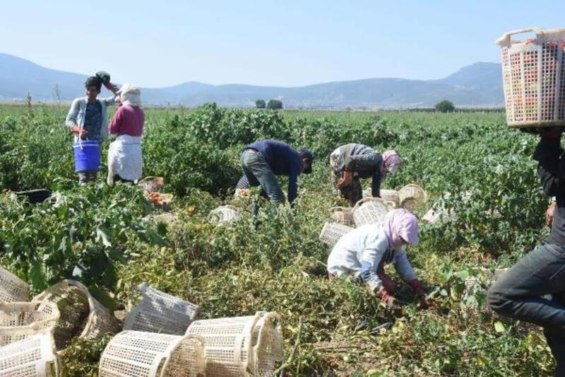 Torbalı'da domates üreticilerinin yüzü gülüyor