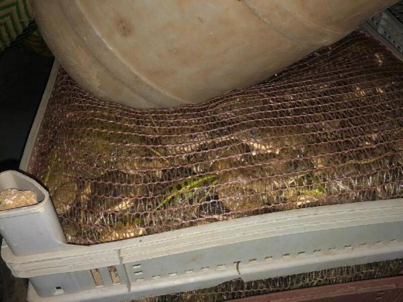 Otomobilde 3 bin kurbağa ele geçirildi: 5 gözaltı