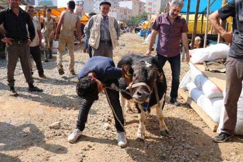 'Cüce' tosun 'Paşa' kurban pazarının ilgi odağı oldu