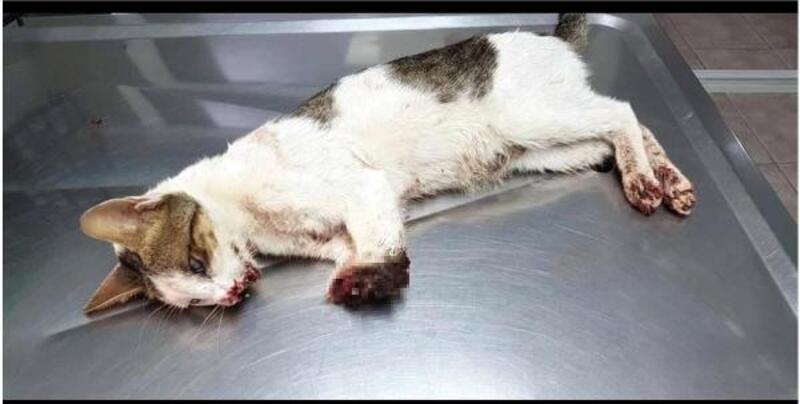 Marmaris'te 2 bacağı kesilmiş bulunan kedi uyutuluyor