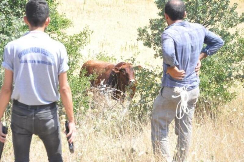 Kaçan kurbanlık boğaları belediye timi yakaladı