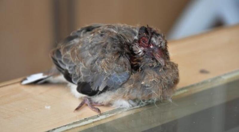 Yaralı kumru yavrusu tedaviye alındı